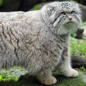 گربه پالاس